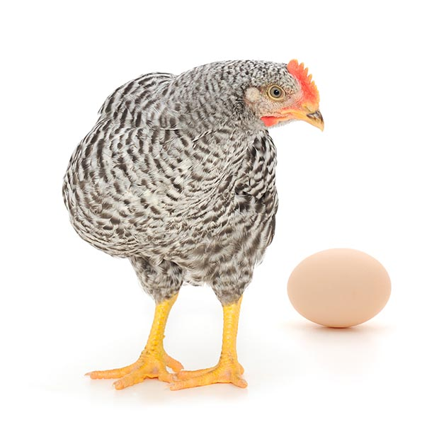 Hands-on Help For An Egg Bound Hen