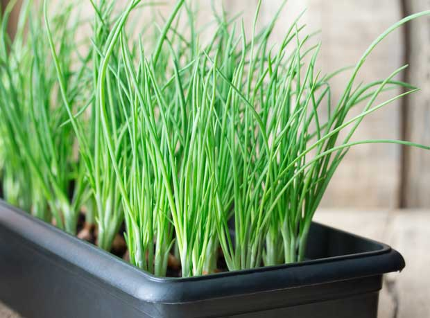 Green onion seedlings