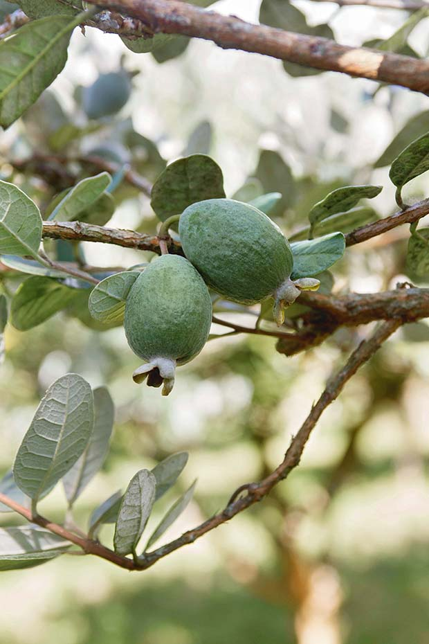 feijoa orchard