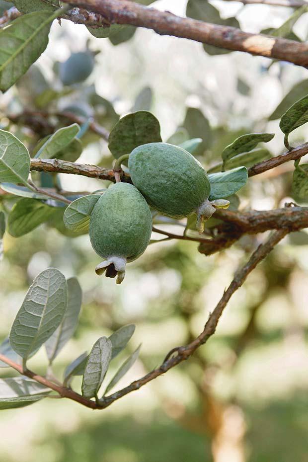 feijoa orchard