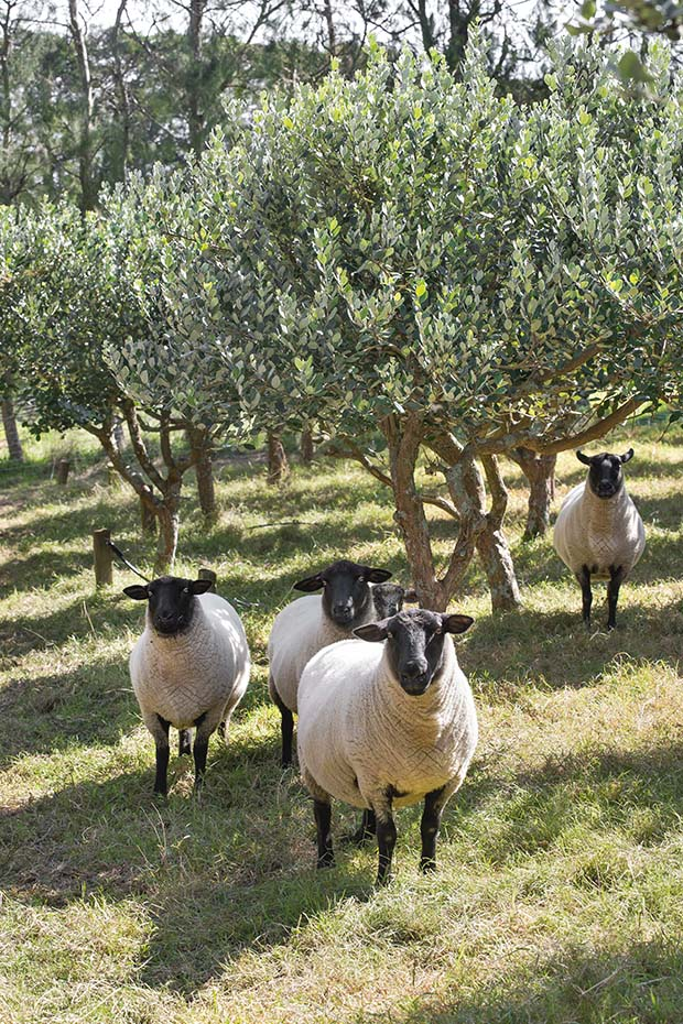 sheep in feijoa orchard