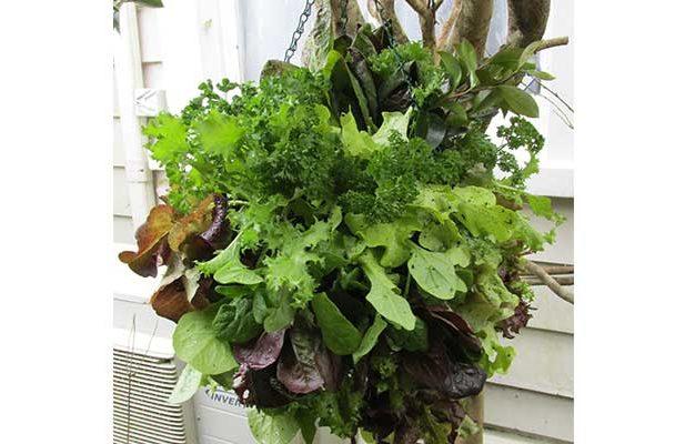 hanging lettuce ball lettuce orb