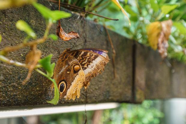 butterfly otago museum