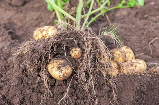 potato plant