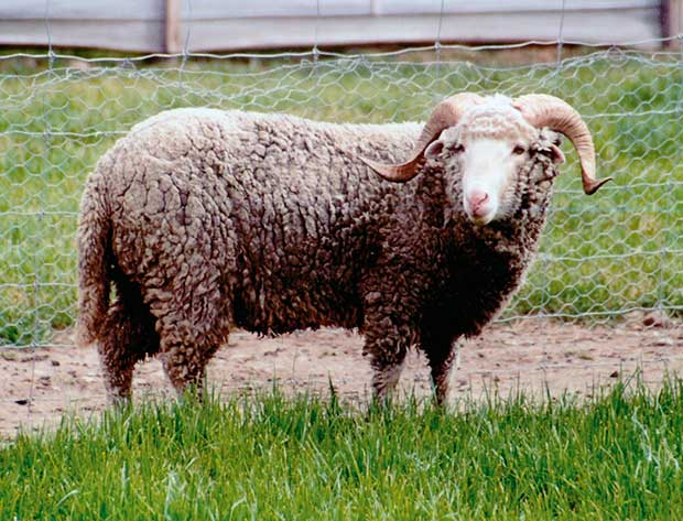 New Zealand S Five Rare Feral Sheep Breeds Thisnzlife