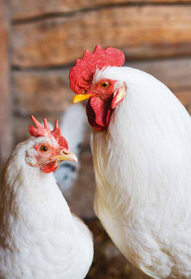 3 common respiratory diseases affecting New Zealand chickens