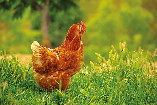 Odd reasons your chicken might be lame - thisNZlife