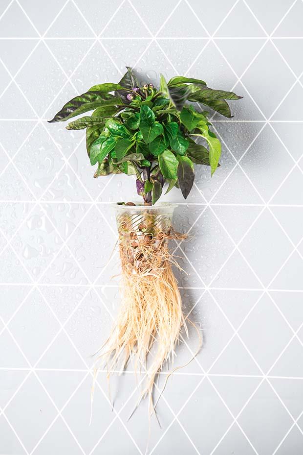 raíces hidropónicas