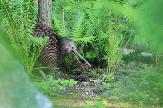 brown kiwi in New Zealand forest