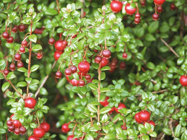 Growing guide: Cranberries and New Zealand Cranberries