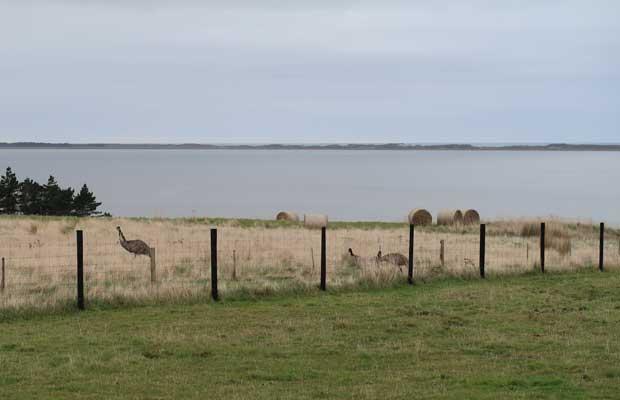 Wild emus Chatham Islands.