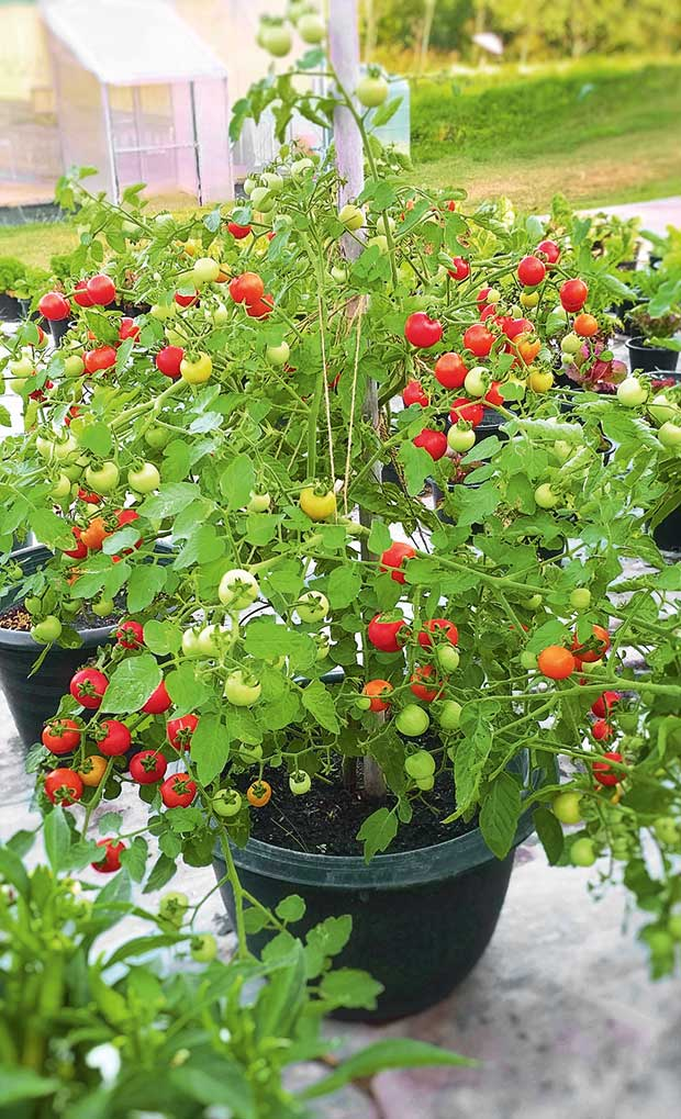 20 Expert Tips To Growing Great Tomatoes Thisnzlife